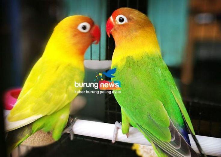 Lovebird Peterson (kanan) bersama pasangan betinanya (burungnews.com)