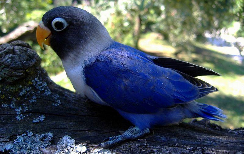 Jenis Lovebird Violet (juzaphoto.com)