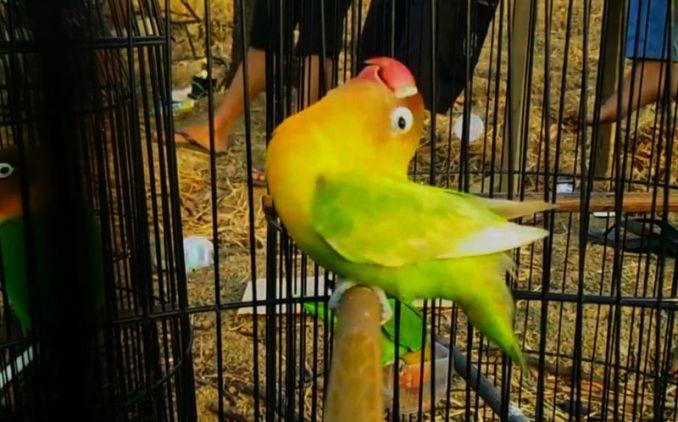 Kelebihan dan kekurangan Lovebird Fighter (ratukicau.com)