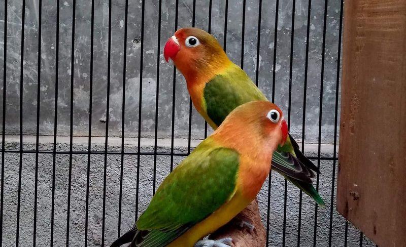 15 Perbedaan Lovebird Konslet dan Fighter