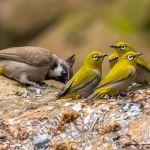 Burung Pleci koloni (hbw.com)