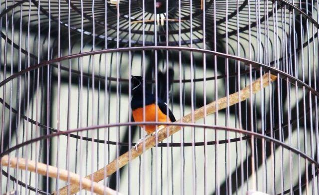 Gara-gara Kroto, Burung Murai Batu Gatot Kaca Malah Rusak
