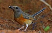 Serangga berbahaya untuk burung (nejohnston.org)