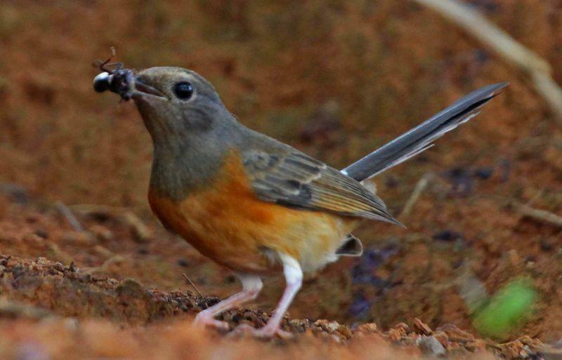 17 Serangga Berbahaya yang Menyebabkan Burung Sakit dan Mati