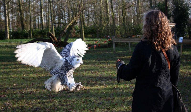 15 Tips Menjinakkan Burung Hantu Liar dan Galak