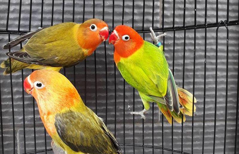 8 Jenis Lovebird Biola Lengkap dengan Gambar dan Harga