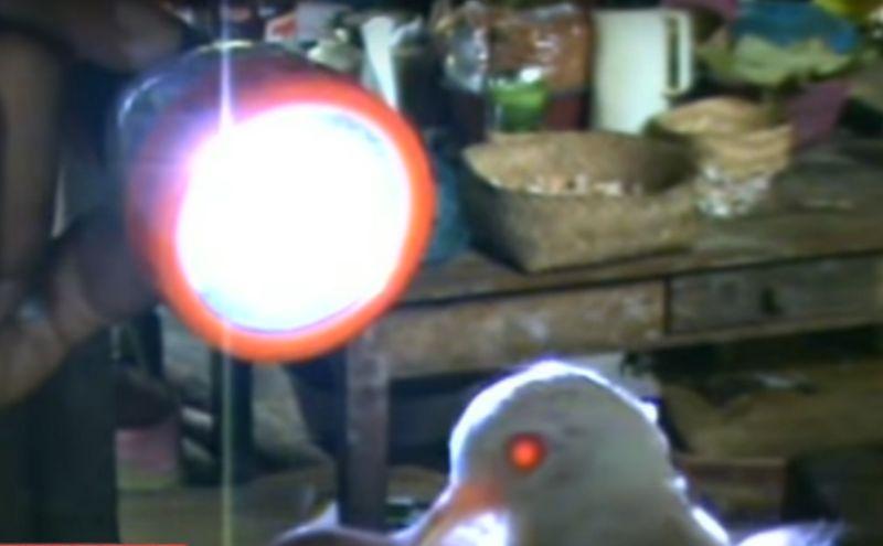Keunikan Perkutut Putih Asli Matanya Bisa Tembus Cahaya (youtube.com)
