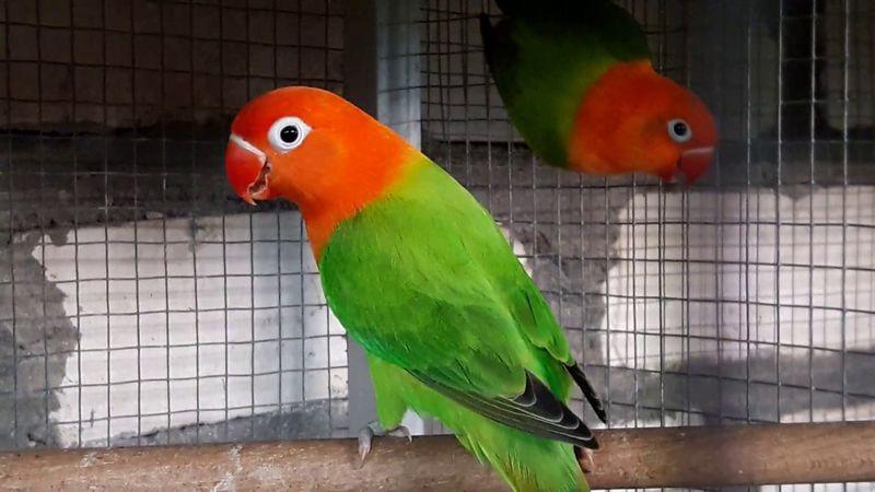 Lovebird Biola Fischeri (youtube.com)