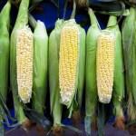 Americké i brazilské agentury ve středu zredukují odhady úrody kukuřice v Brazílii kvůli suchu
