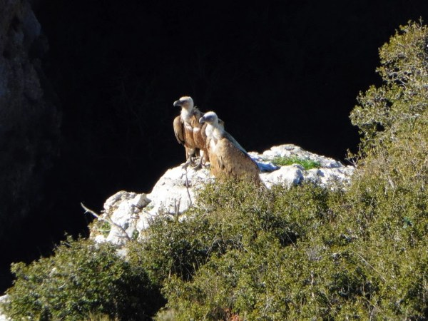 Buitres en las foces de la Sierra