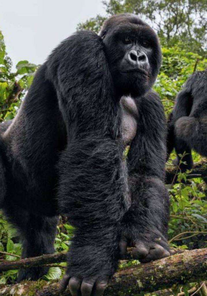 Volcanic Mountains Gorilla