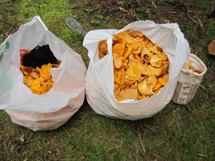 foraging edible mushroom