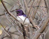 Male Violet-backed starling.