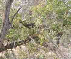"What we saw after vying for position and an enlarged view for your benefit. It was really a case of ""spot the leopard""!"