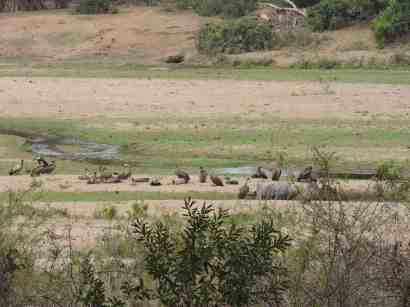 Vultures feeding on a dead hippo by the river.