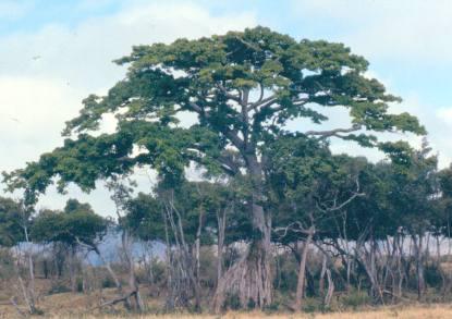 trans-mara-tree-near-migori-bridge-cropped
