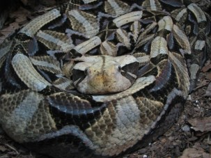 Gaboon viper. Picture by No machine-readable author provided. Ltshears assumed (based on copyright claims). [Public domain], via Wikimedia Commons.