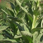 mullein leaves