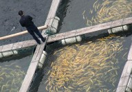 Farm-raised fish can still absorb mercury, since most fish farms are located in the ocean, close to or abutting the shoreline.  Pictured: A fish farm in Shanghai.