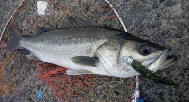 【シーバス(鱸)をワームで釣ろう】釣り方(アクション)、仕掛け(リグ)、サイズ(大きさ)、人気のワーム・ジグヘッド【ランキング】