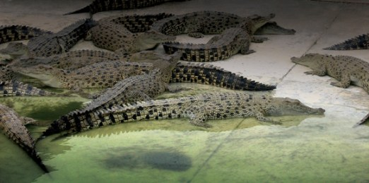 The Mainland saltwater crocodile farm is the world's largest