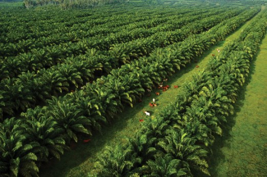 Sustainable, traceable palm oil has become PNG's largest agricultural export. Credit: NBPOL