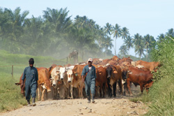 There is an increasing demand for beef in pNG. Credit: NBPOL