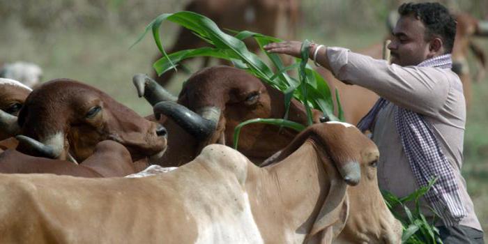 Проект фермы на 10 коров. Разведение бычков на мясо