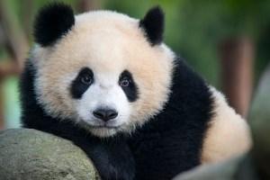 Giant Panda bear. Credit: Guenterguni
