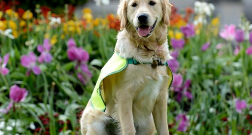 Swansea Uni Pioneer Technology to Detect Stress in Guide Dogs