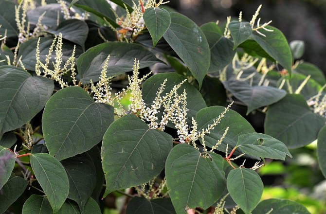 Council joins the fight Against Japanese Knotweed by Launching its Own Management and Treatment Service