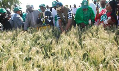 FG Moves to Boost Wheat, Rice Production
