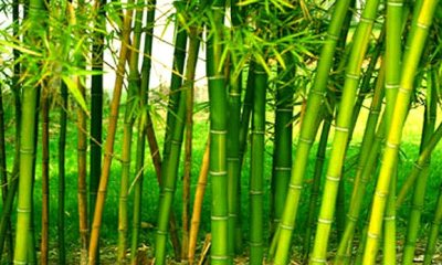 FG Eyes Bamboo Production to Boost Economy