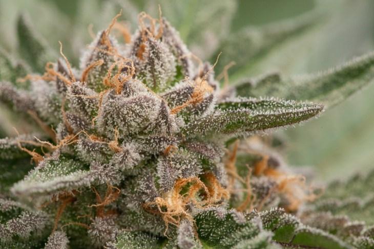 marijuana weed bud