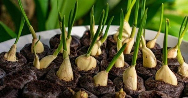 Grow Your Own Garlic to Use as a Natural Remedy