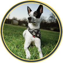 jeffrey cattle dog mix kansas city dog walking