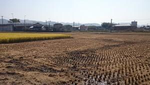 周りの田は全て刈り取られた