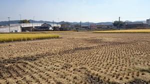 他の田が刈り取られてきた