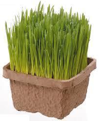 通称:ねこ草