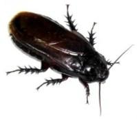 なぜか人間に密接に関わってくる生物 ゴキブリ