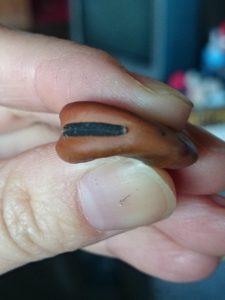 これは種用のそら豆。 「おはぐろ」が真っ黒。