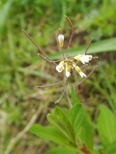 Arabidopsis spp