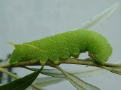 Lime Hawk moth caterpillar