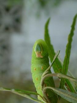 Lime Hawk moth caterpillar 2