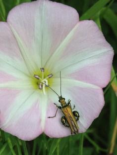 Thick-legged beetle