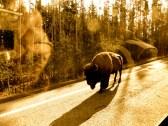 ::bison jam::
