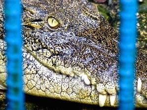 ::crocs::