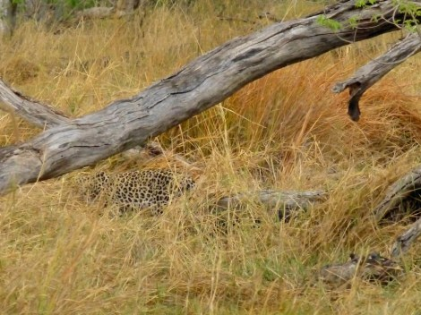 ::our one glimpse of leopard at Moremi::
