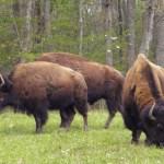 bison hunt