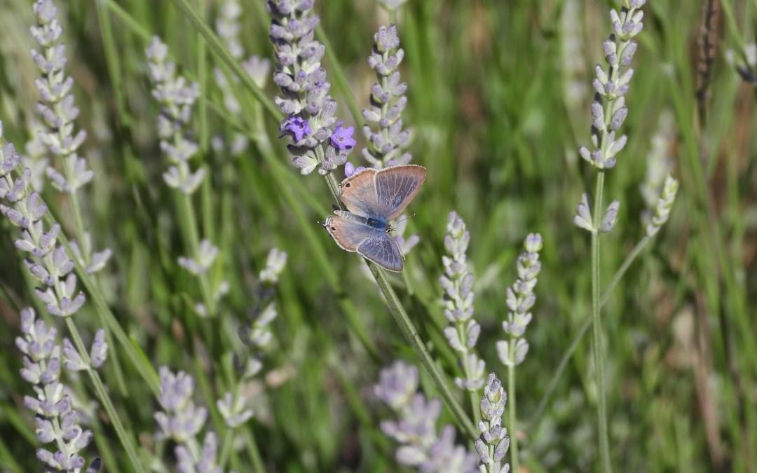 Butterflies of the Week
